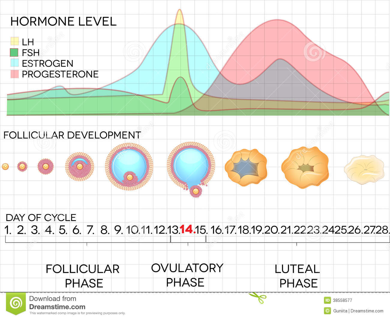 http://www.dreamstime.com/royalty-free-stock-photography-female-menstrual-cycle-ovulation-process-hormone-levels-detailed-medical-illustration-image38558577